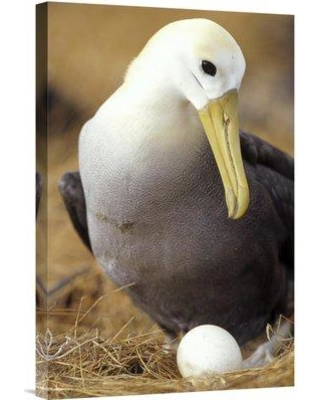 """East Urban Home 'Waved Albatross Incubating Single Egg Galapagos Islands Ecuador' Photographic Print EAUB4700 Size: 24"""" H x 16"""" W Format: Wrapped Canvas"""