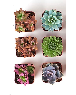 Shop Succulents | Assorted Collection | Variety Set of Hand Selected, Fully Rooted Live Indoor Succulent Plants, 6-Pack