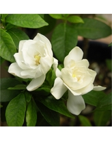 Gardenia 'August Beauty' 1pc - Cottage Hill U.S.D.A Hardiness Zone 8-11