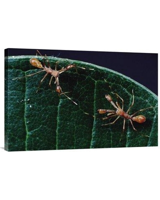 """East Urban Home 'Kerengga Ant-Like Jumper Males Fighting Sri Lanka' Photographic Print EAAC8744 Size: 20"""" H x 30"""" W Format: Wrapped Canvas"""