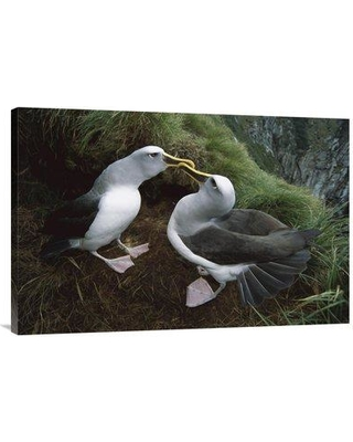 """East Urban Home 'Buller's Albatross Courtship Dance Snares Islands New Zealand' Photographic Print EAUB4770 Size: 24"""" H x 36"""" W Format: Wrapped Canvas"""