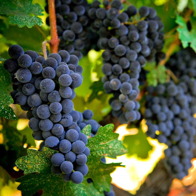 grape-vine-antioxidant