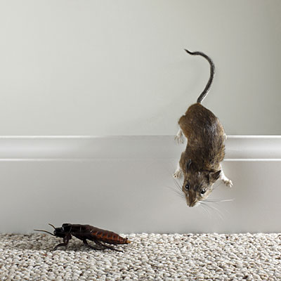Cockroaches and mice