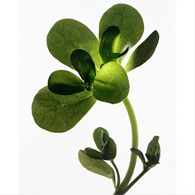 purslane-watercress-salads