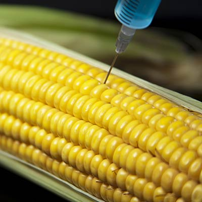 Genetically modified corn and soy (GMOs)