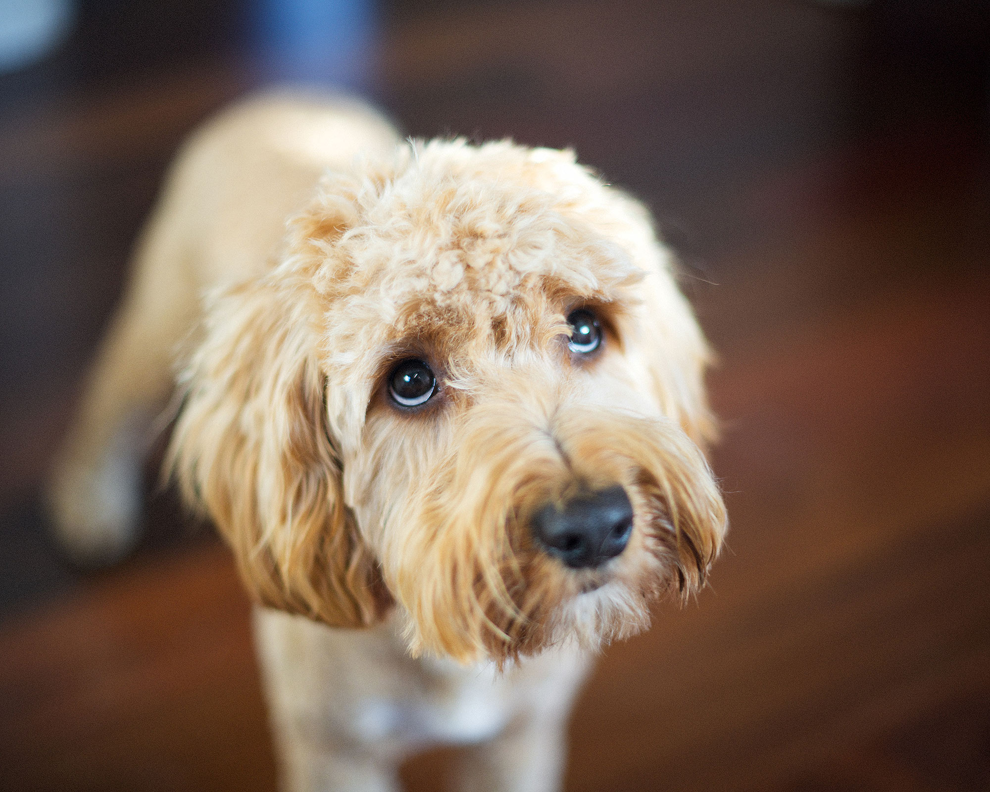 Science Has Unveiled Why 'Guilty' Dogs Make That Adorably Sad Face