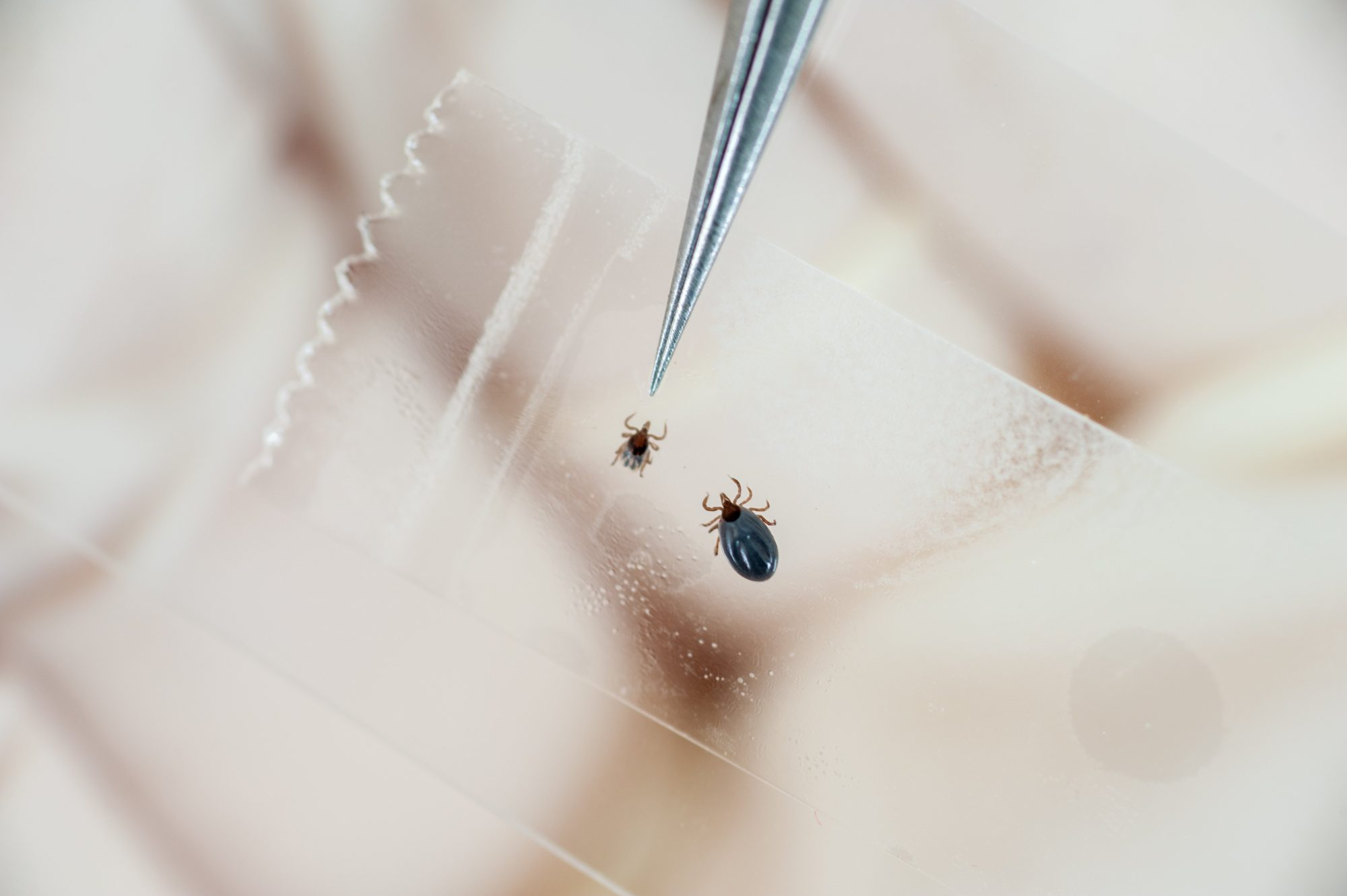 Tweezers pointing to a tick while doing Lyme disease research in College Park, Maryland, USA