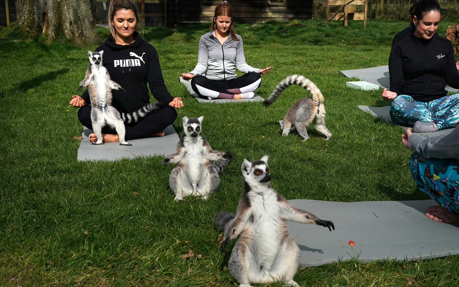 Armathwaite Hall hotel in Keswick, Cumbria holds Lemoga classes with the lemurs from Lake District Wild Life Park