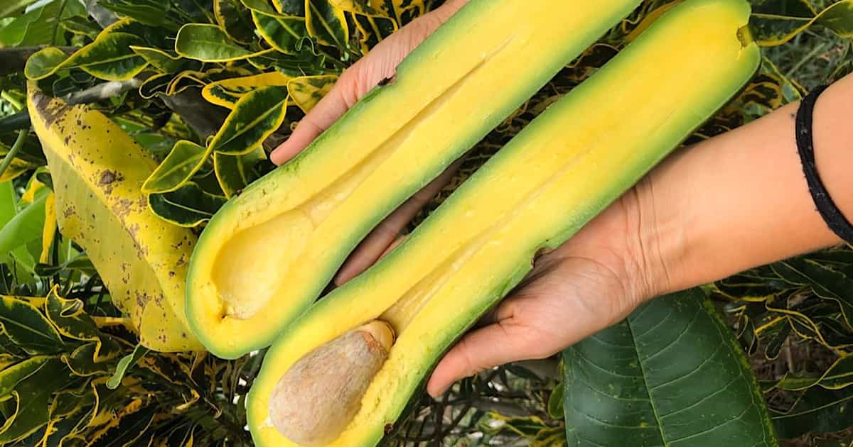 What on Earth Is a Long Neck Avocado?