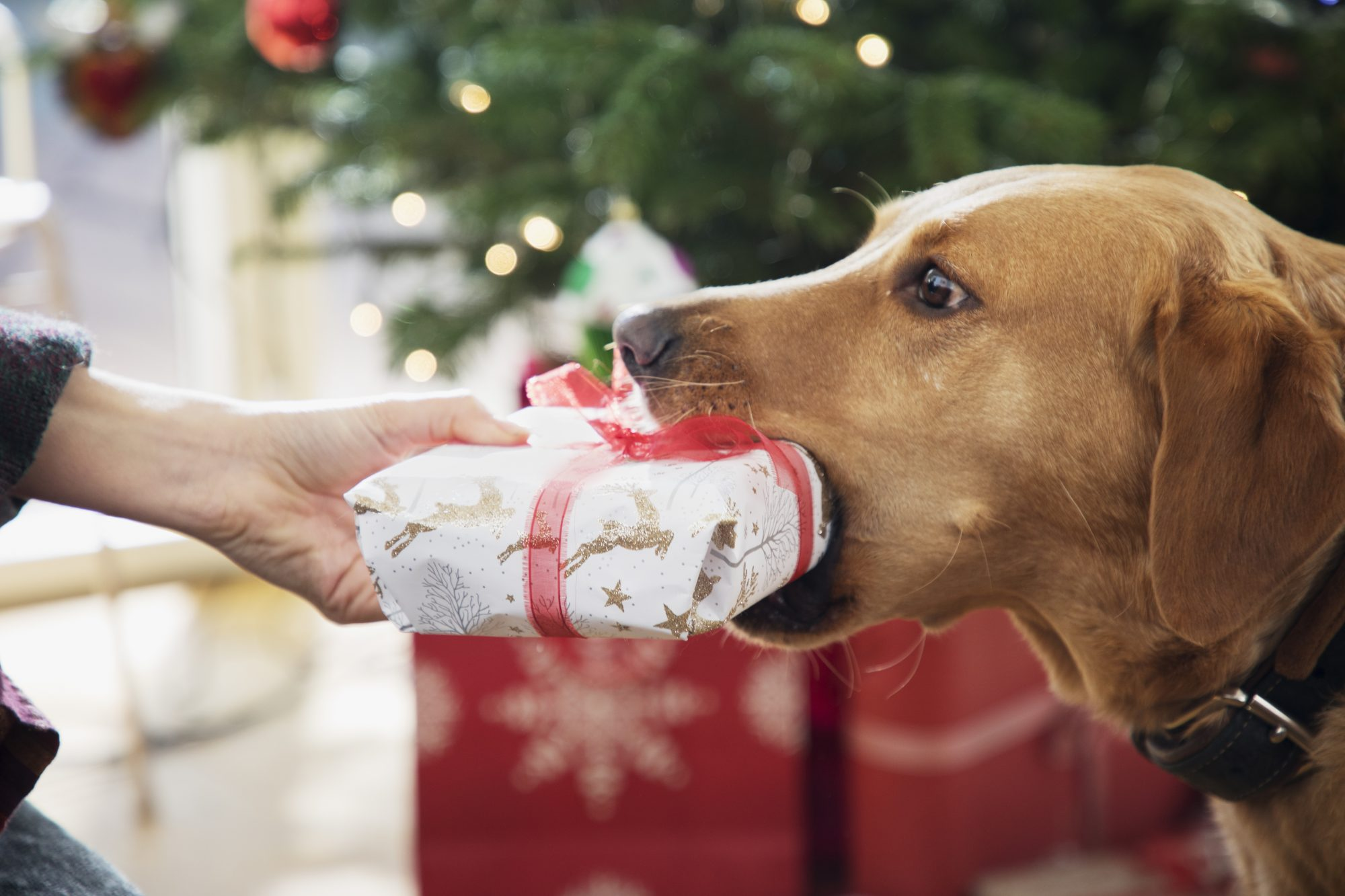 holidays-pet-gifts , Dog gives a Christmas present to woman, close up.