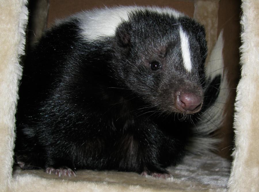 Fiora the Skunk baby