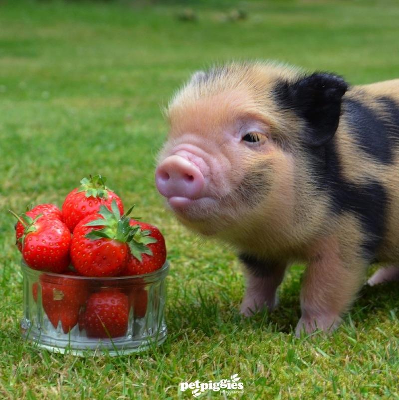 micro-pig-LondonPignic