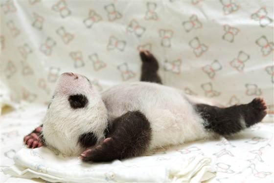 6C8613205-tdy-130813-baby-panda-07.blocks_desktop_medium