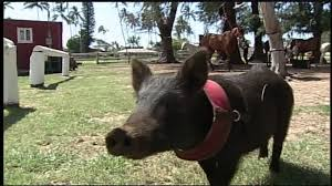 Wilma the pig who thinks she's a horse