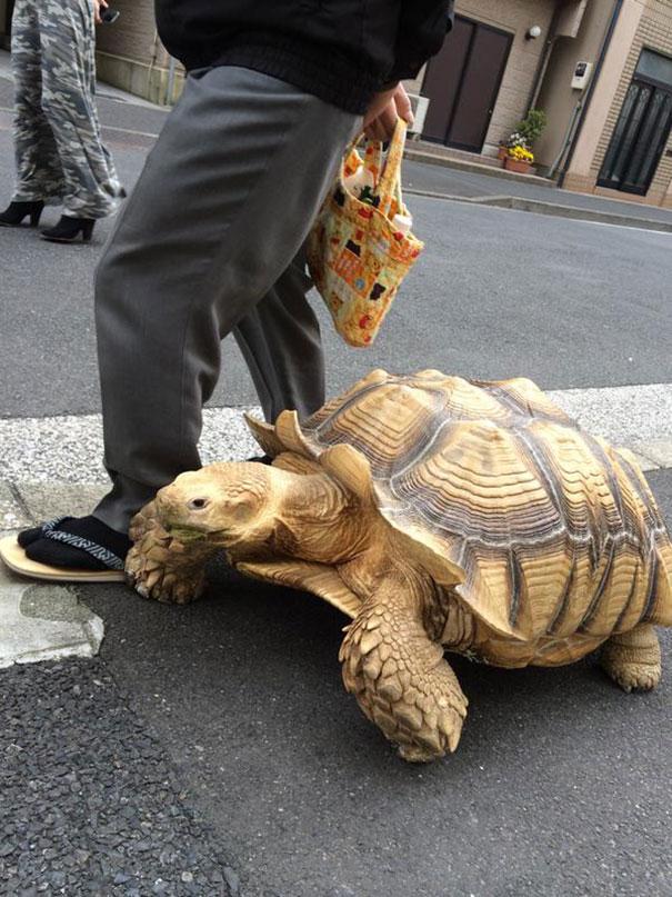 elderly-man-walking-pet-african-spurred-tortoise-sulcata-tokyo-japan-1