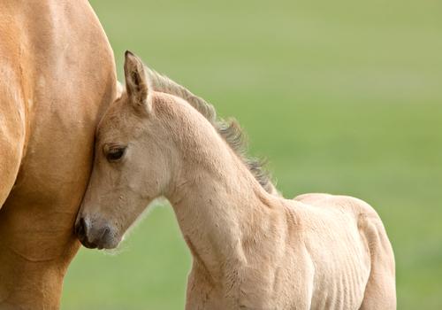 babyhorse