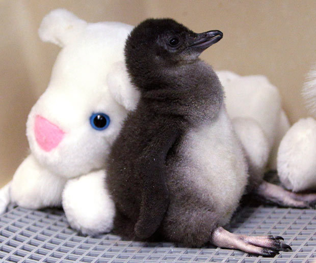 adorable-penguin-chick-with-plush