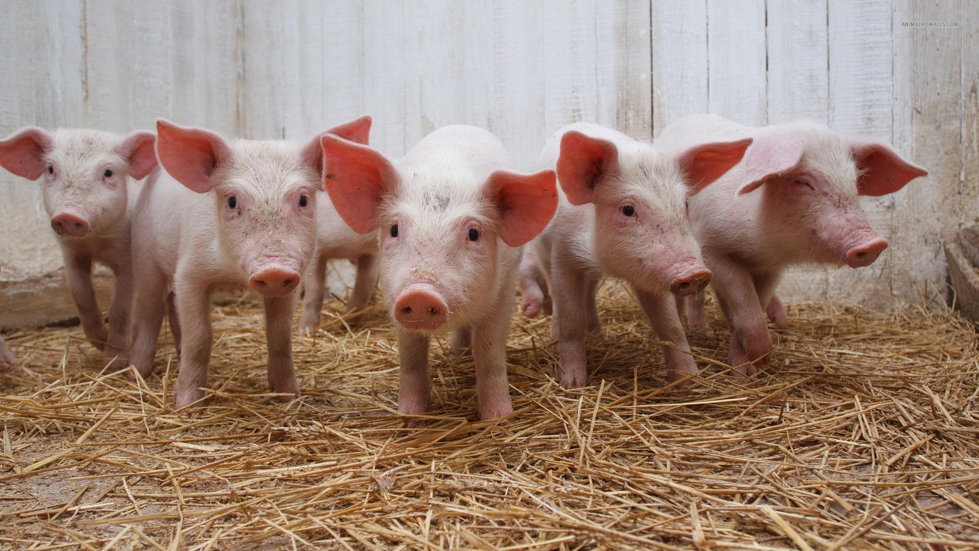 piglets-hd-photos-7