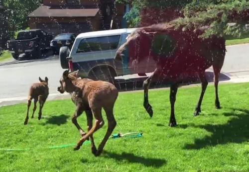 baby-moose-playing-sprinkler-heatwave-alaska-coverimage
