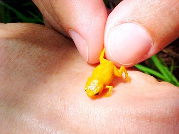 yellowfrog