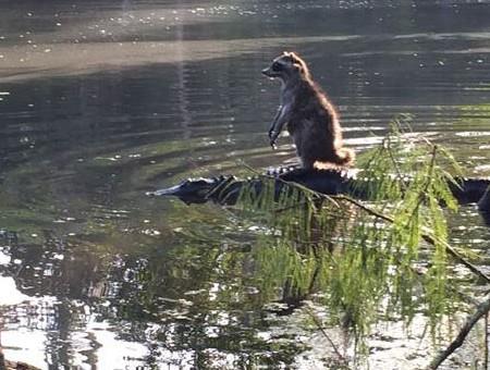 raccoon-on-gator