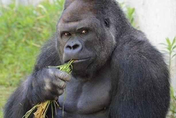 29FAA43100000578-3139679-The_western_lowland_gorilla_was_raised_at_Sydney_s_Taronga_Zoo_b-a-6_1435298247799