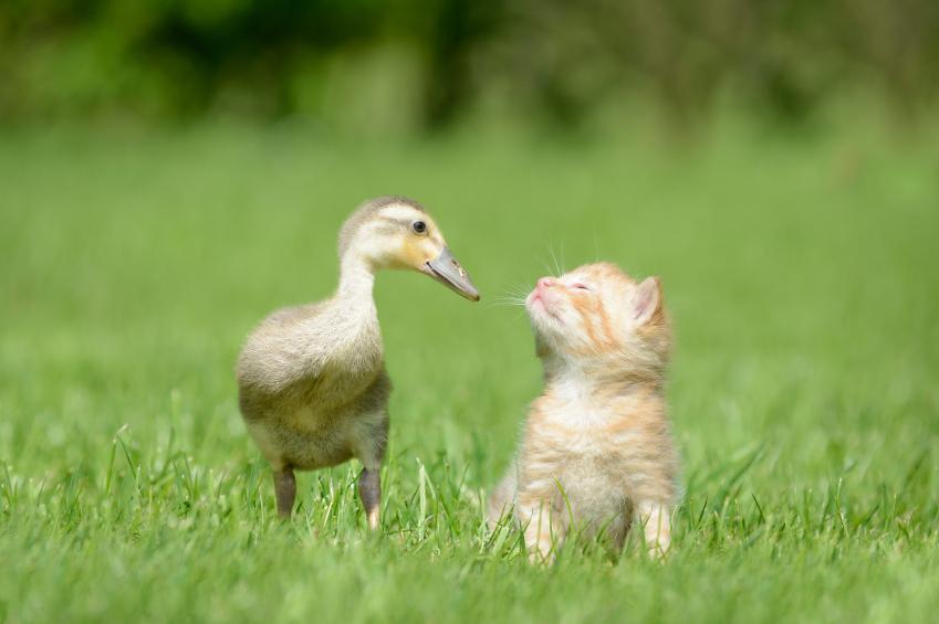 Kitten and duck