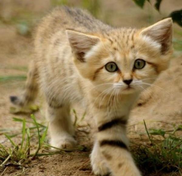 twitter sand cat 6