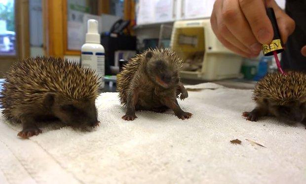 Sneezing-Hedgehogs