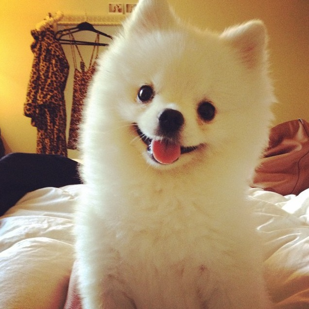 Picture of Roux the Pomeranian Dog