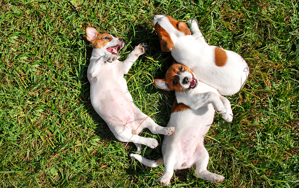 Picture of Puppies Playing Outside