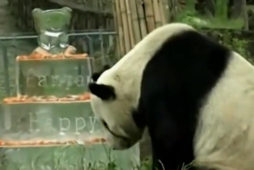panda bday