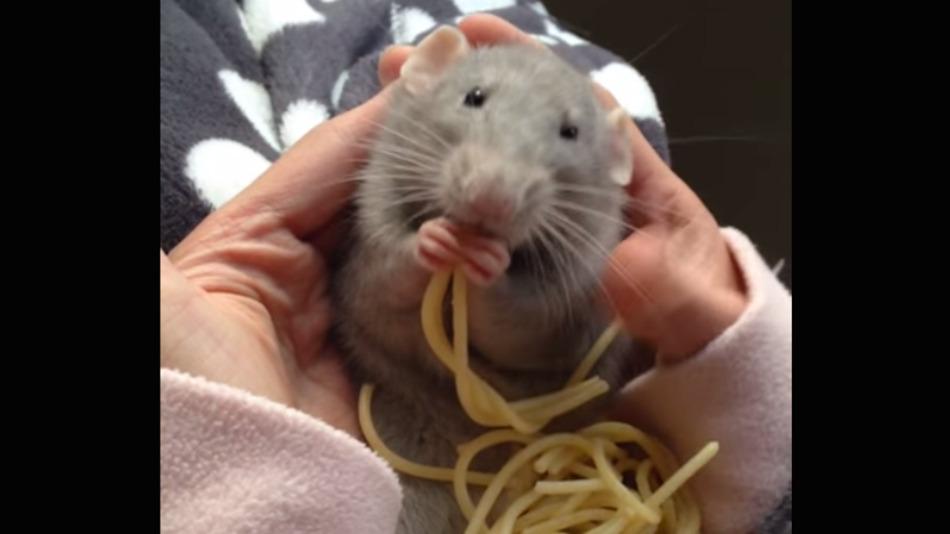spaghetti-rat
