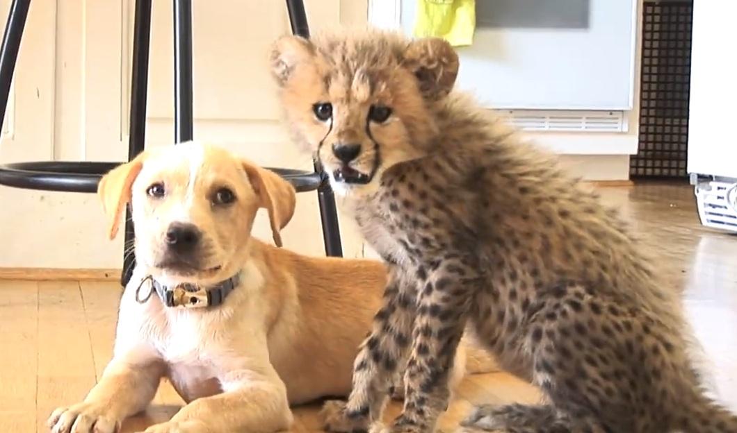dogcheetah
