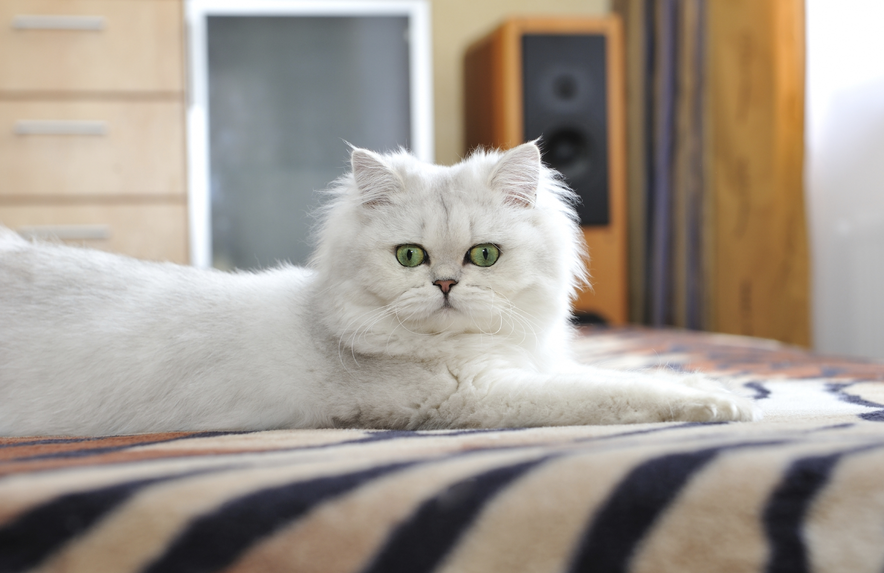 White cat with green eyes lying on the couch.