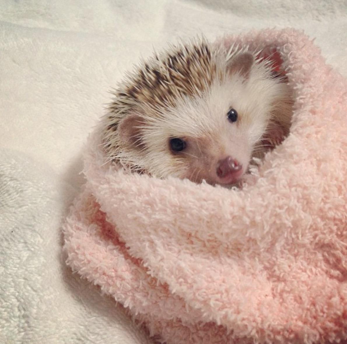 towel hedgehog