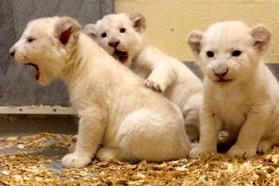 whitelionbabies