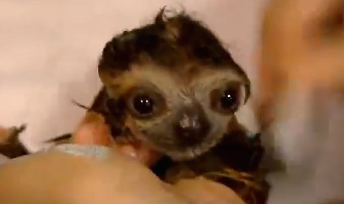 baby-sloth_1437264a