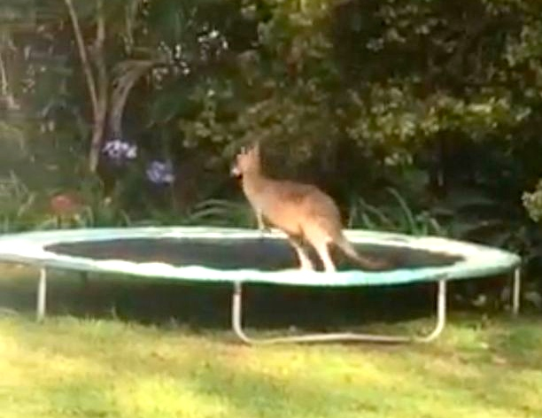 PAY-Kangaroo-flipping-off-a-trampoline