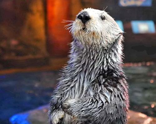 Otter-Bowl-Aquarium-of-the-Pacific