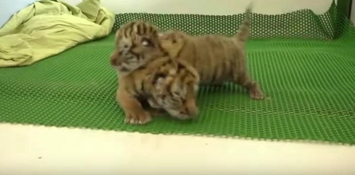 Picture of Baby Tiger Cubs