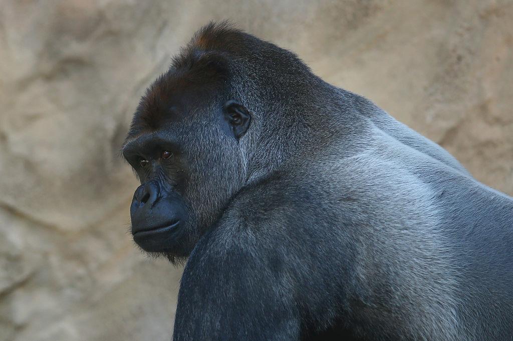 Taronga Zoo Welcomes New Baby Gorilla
