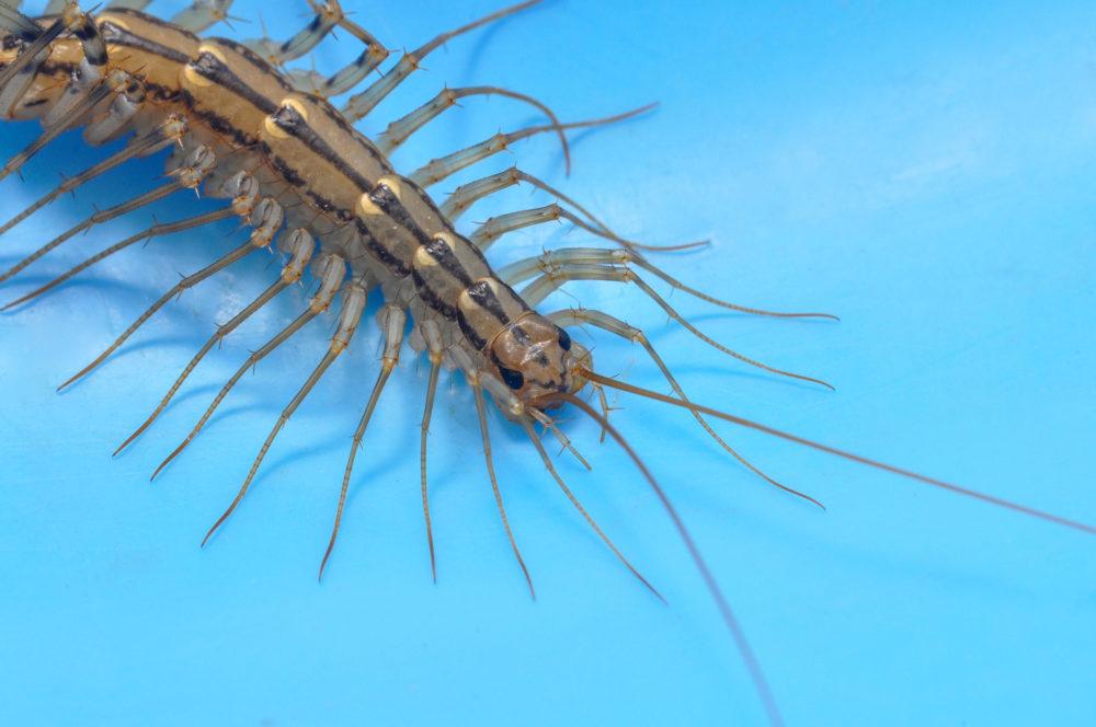 A house centipede.