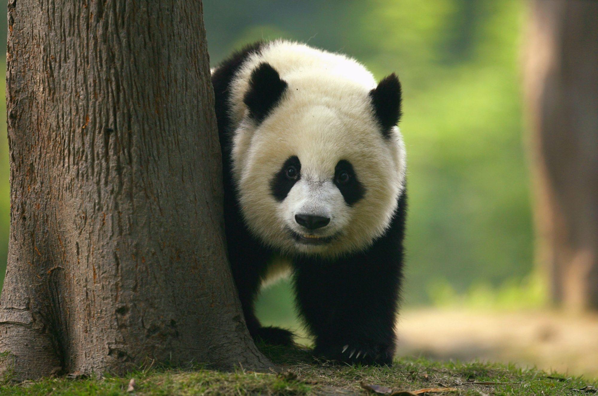 Pandas On Show At China's Largest Breeding Programme