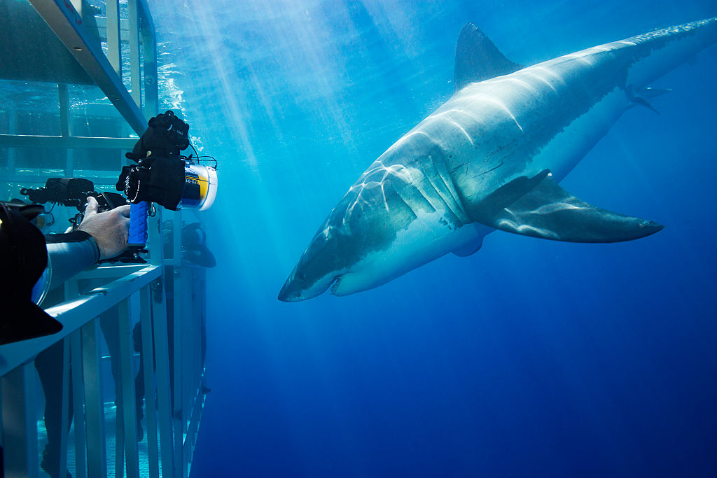 Great White Sharks Up Close