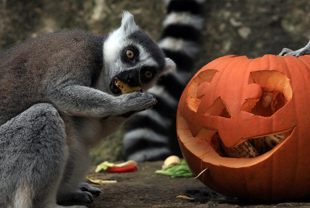 lemur pumpkins