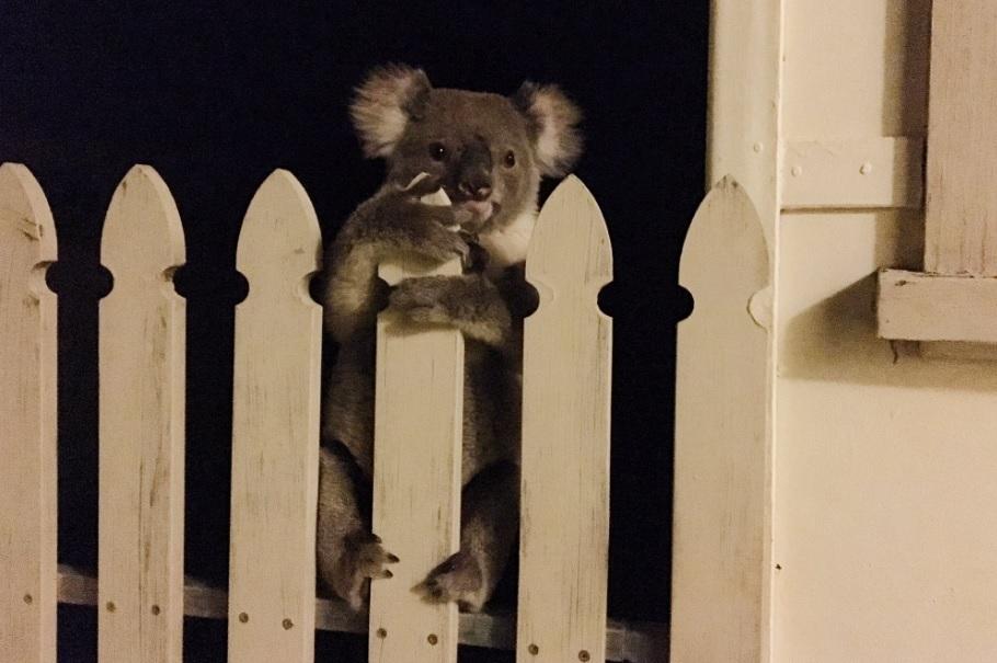 koala-picture