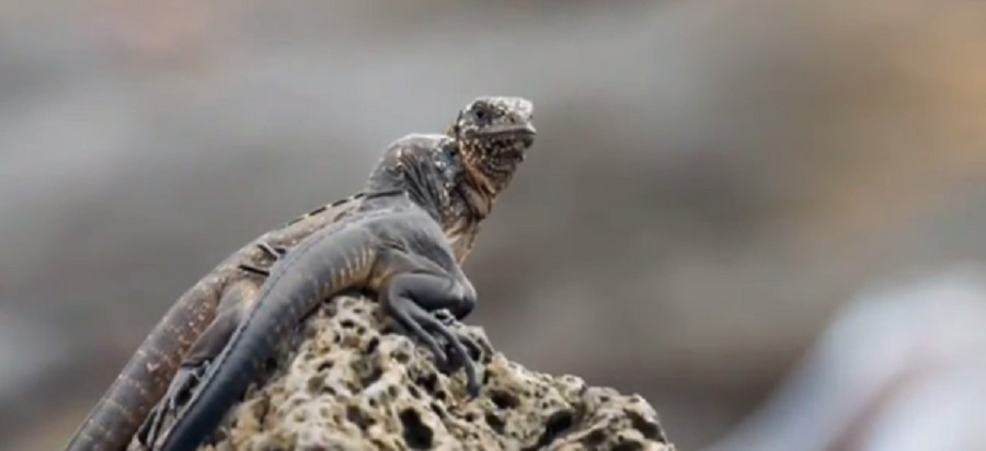 iguana-escapes-snakes