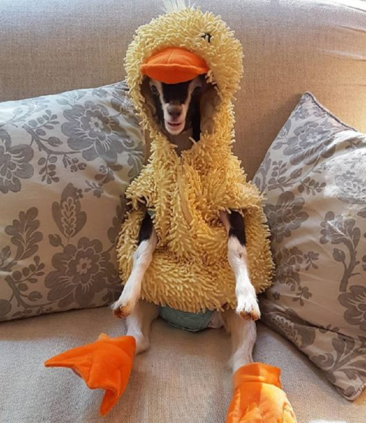 polly-rescue-goat-duck-costume