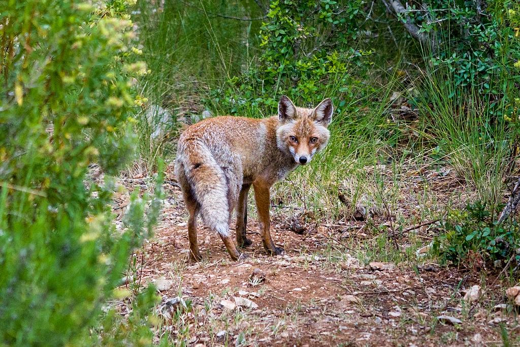 A Red Fox (Vulpes vulpes), seen in Maremma Regional Park (